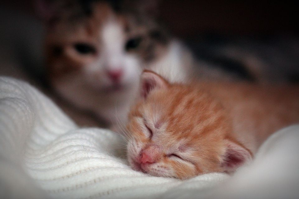 Orange tabby kitten sleeping on a white blanket with a calico cat in the background