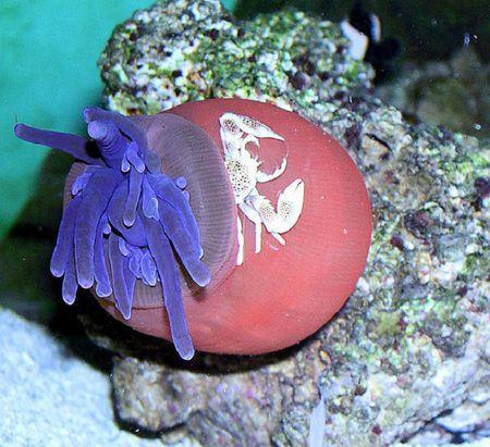 Condylactis Anemone Porcelain Crab