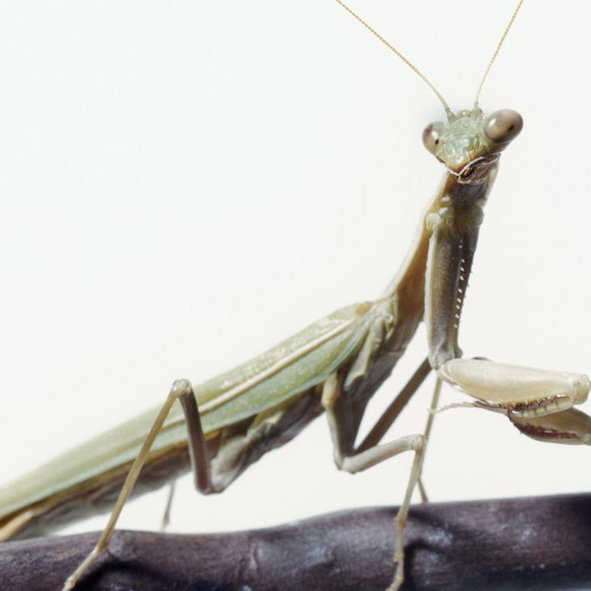 Keeping And Caring For A Praying Mantis As A Pet