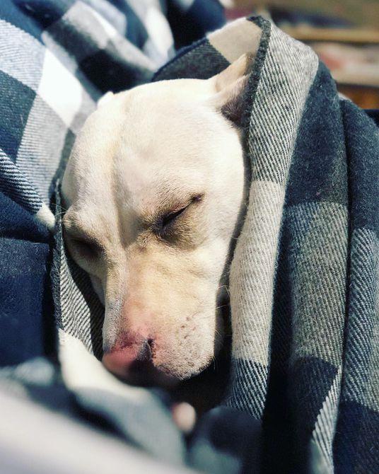 Perro durmiendo en la cama del dueño
