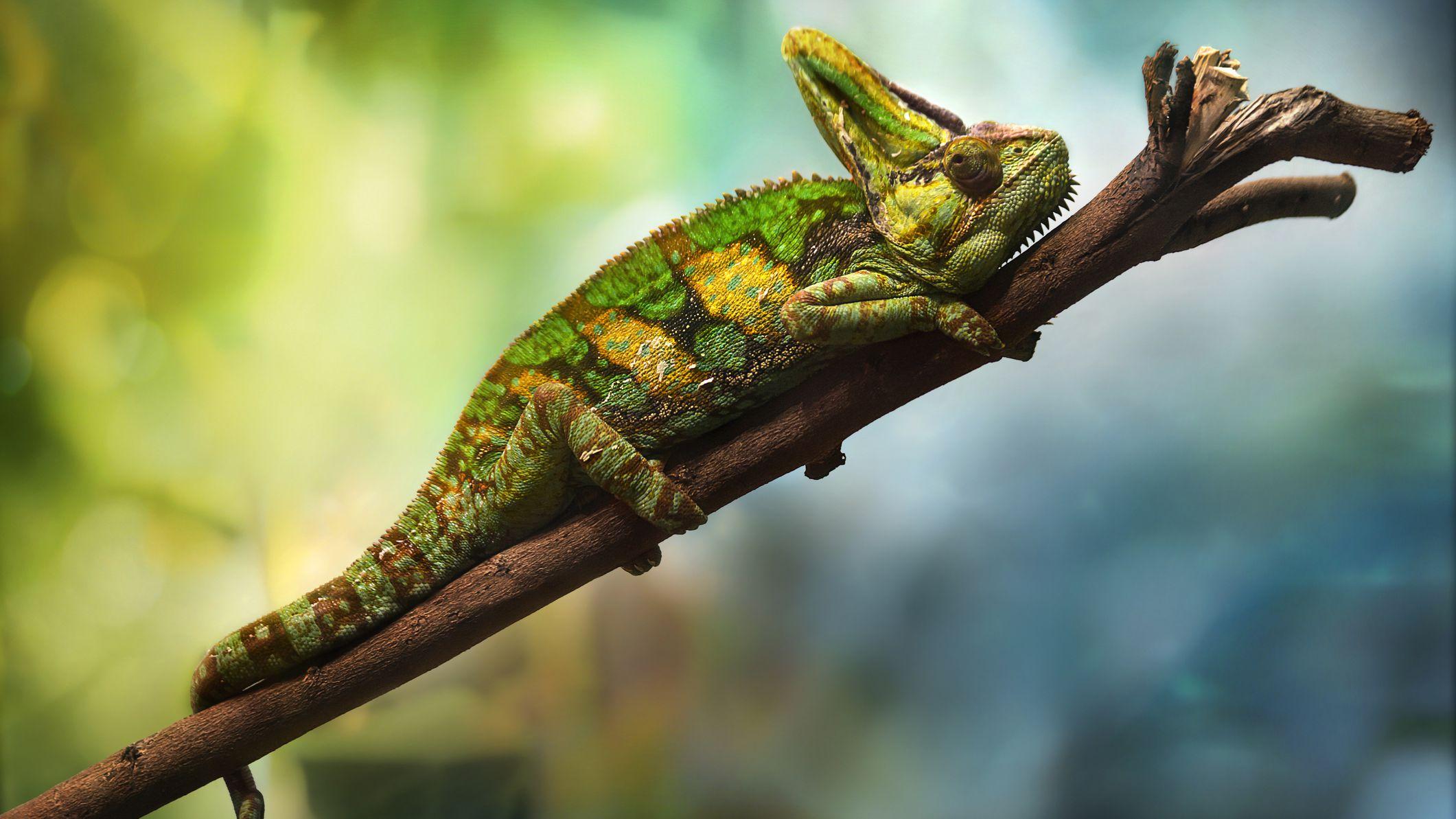 How To Care For Pet Veiled Chameleons