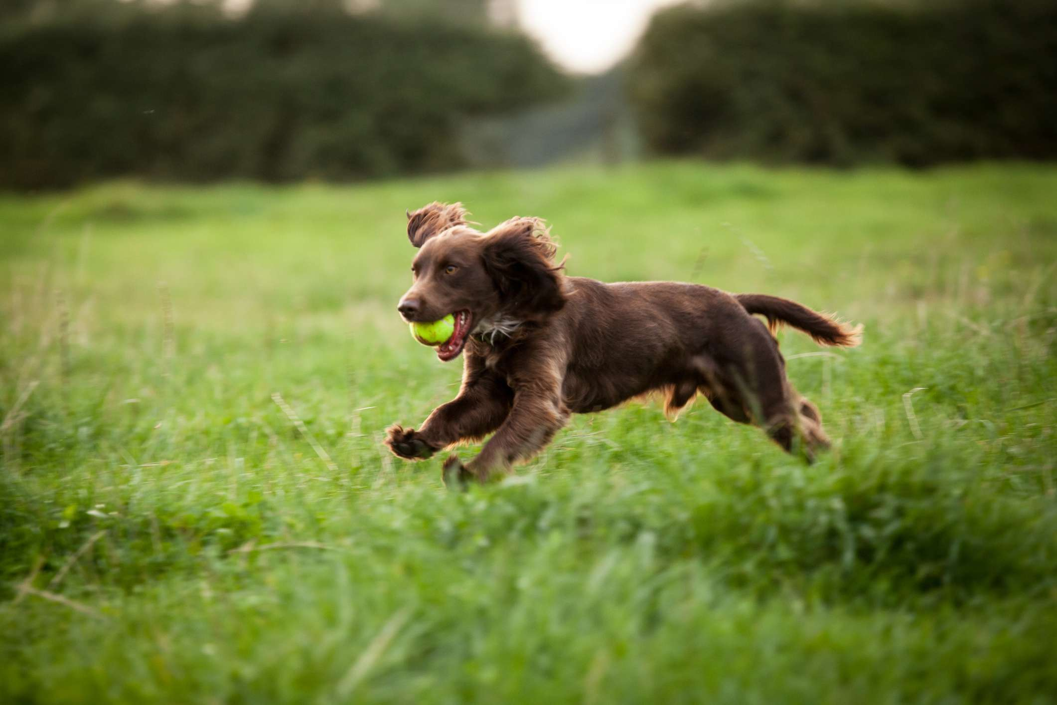 Boykin Spaniel puppy running through field with tennis ball in mouth.