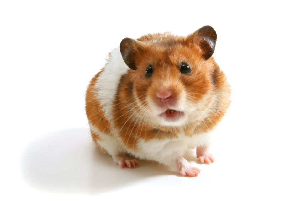 Brown and white hamster on a white background