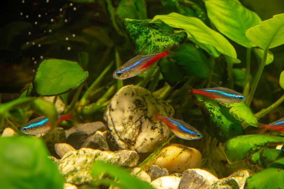 Neon tetras in planted tank