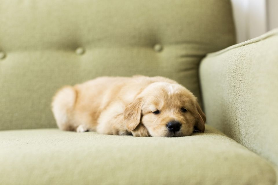 Portrait of puppy lying down on sofa