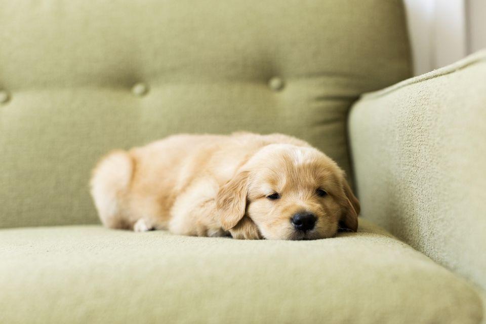 Retrato de cachorro acostado en el sofá