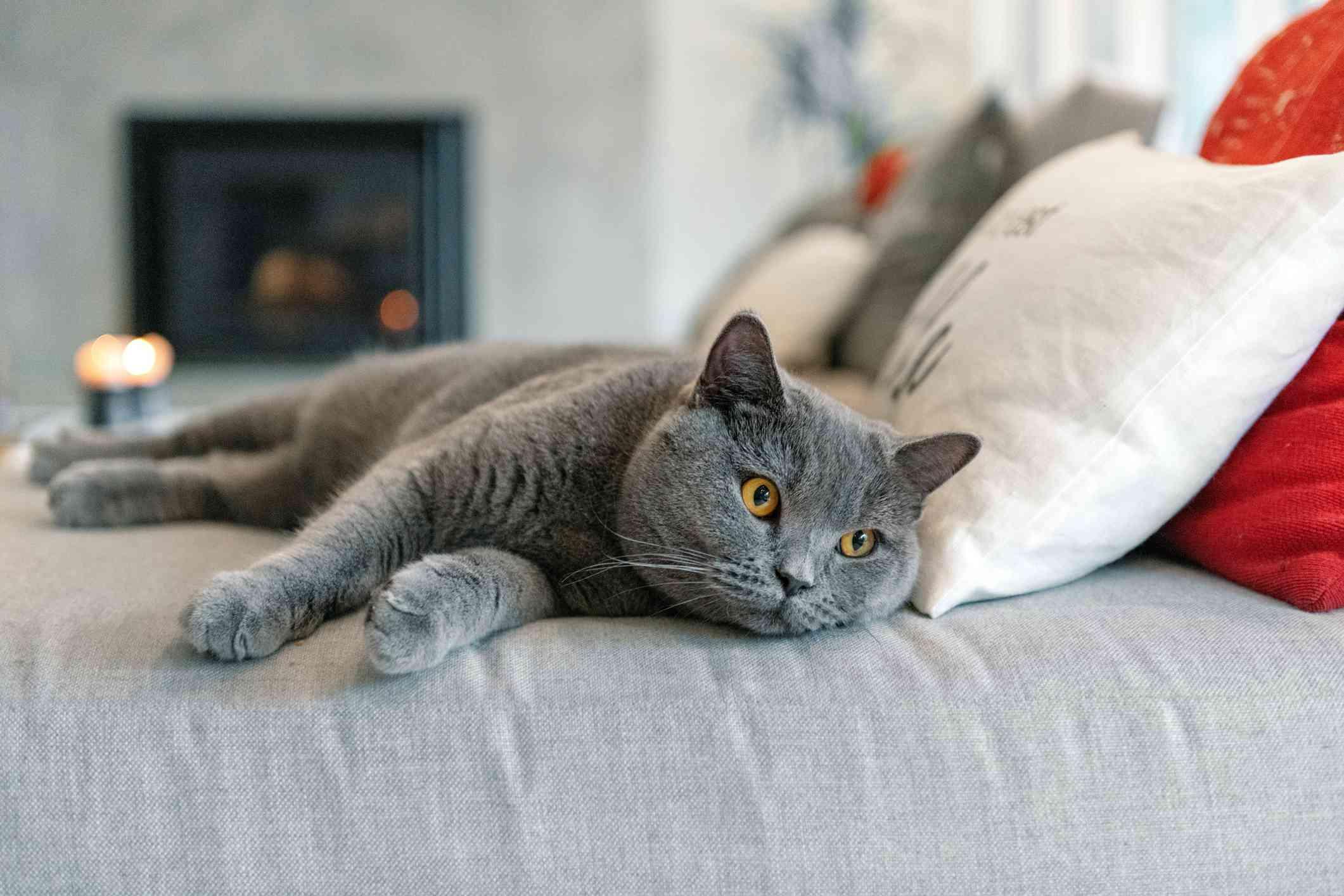 Gato gris británico de pelo corto acostado en el sofá con los ojos abiertos
