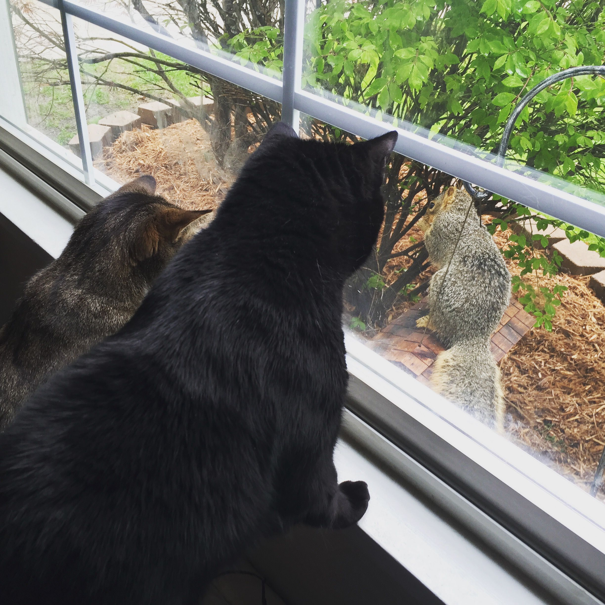 two cats watching squirrel out the window