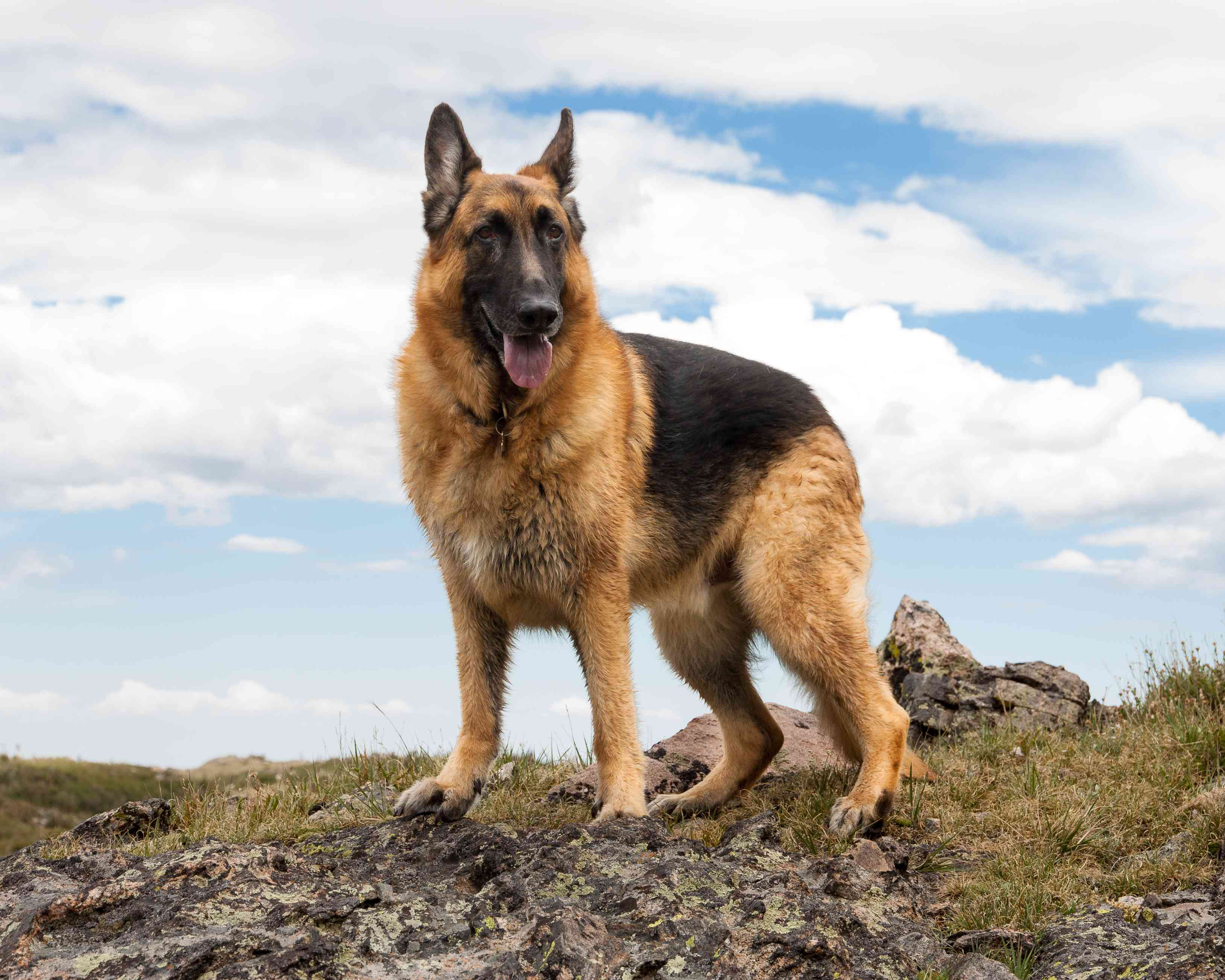 German shepherd standing on rocks with blue sky and clouds background