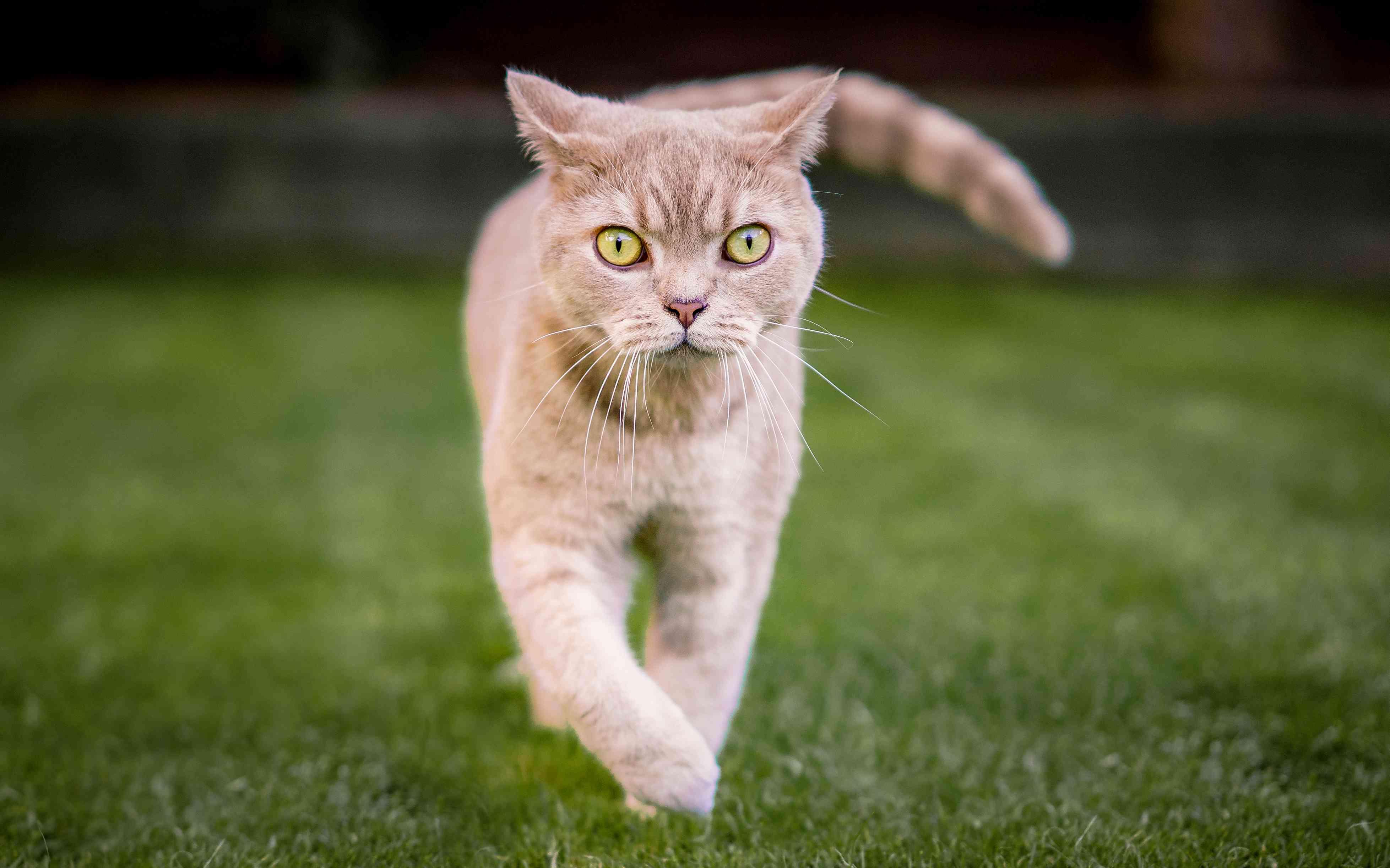 Tabby British Shorthair walking on grass