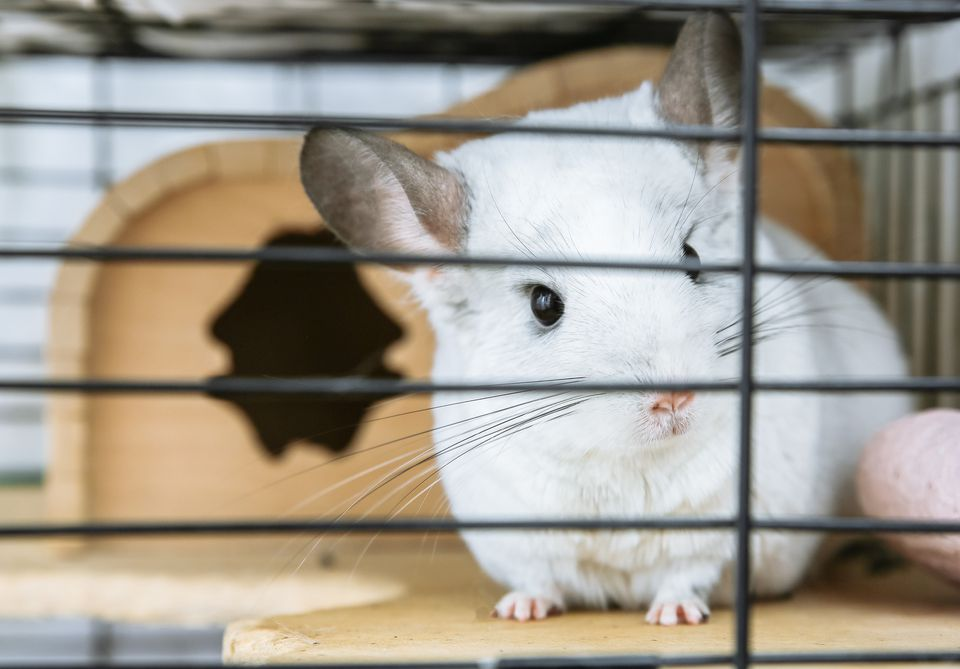 Chinchilla sitting in cage looking through the bars.