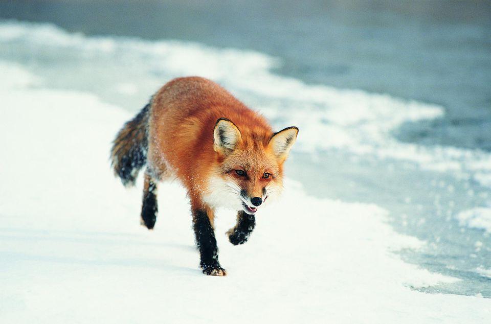 Zorro rojo caminando sobre la nieve