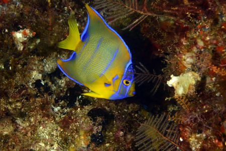 which marine angelfish are best for your aquarium