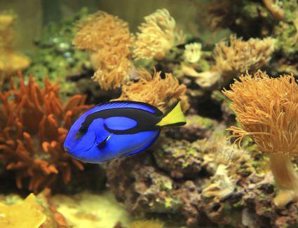 A blue tang in a saltwater aquarium