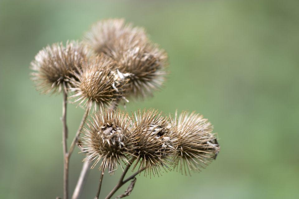 Dry burdock plant