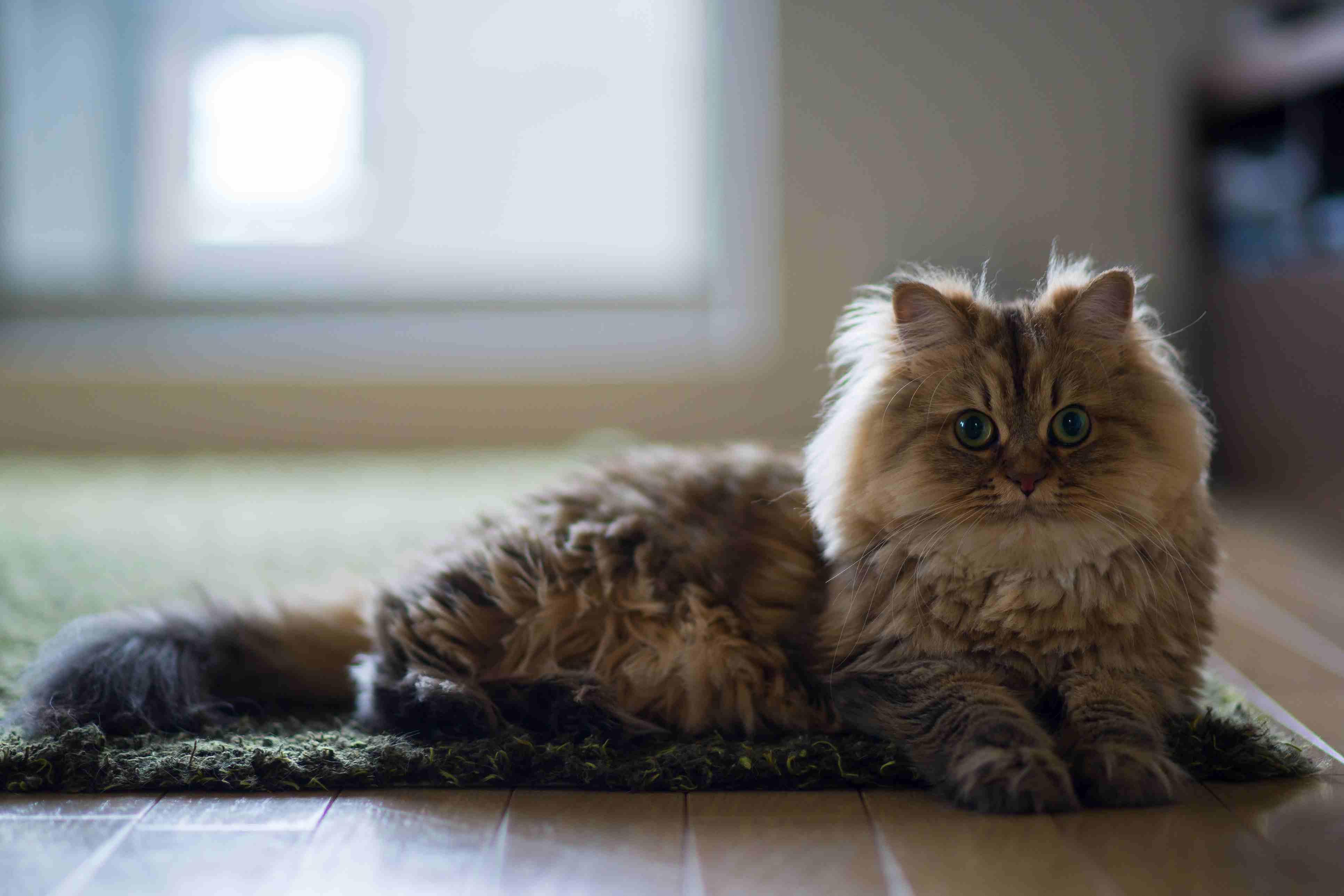 Gato persa marrón tumbado en el borde de la alfombra verde