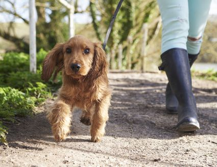 A puppy on a leash being walked down a path