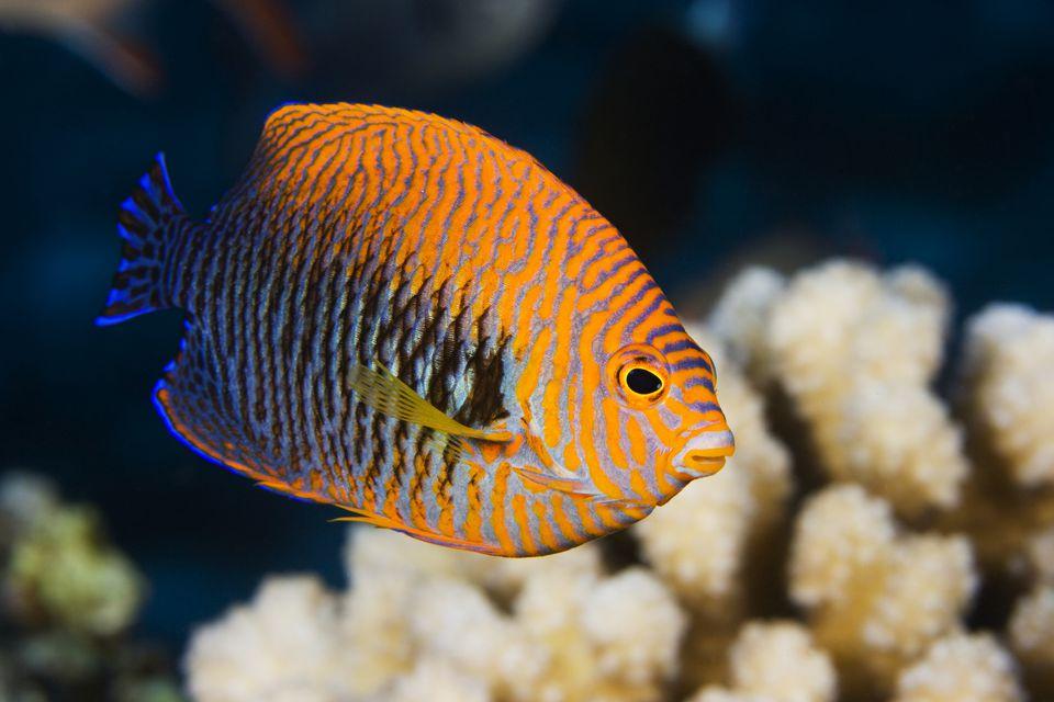 Una buena especie de pez ángel para empezar: el pez ángel de Potter (Centropyge potteri)