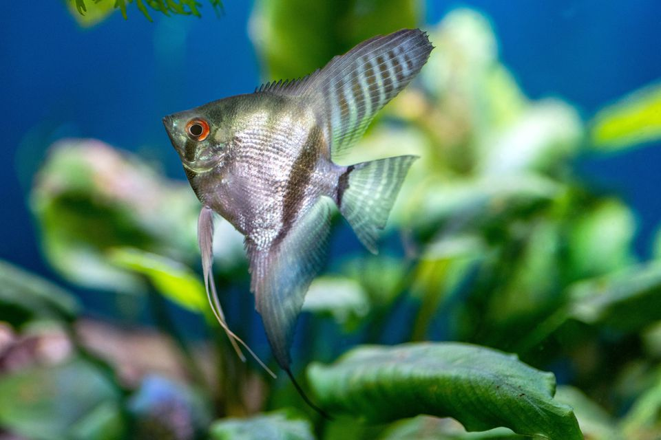 Silver and green striped angelfish swimming in tank with underwater foliage