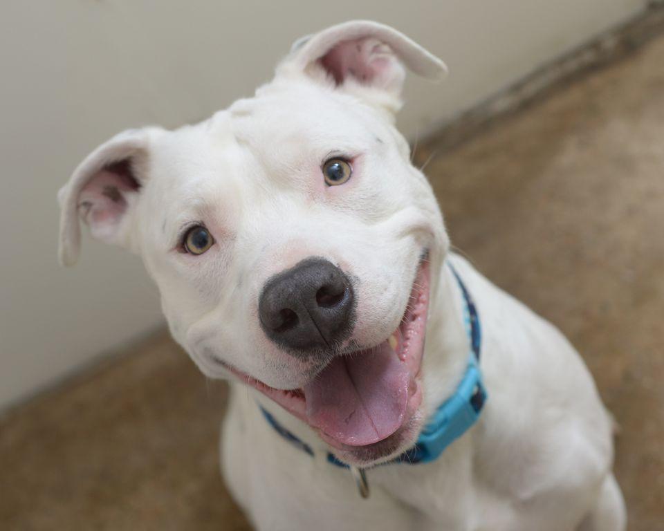 American Pitbull Terrier sonriendo