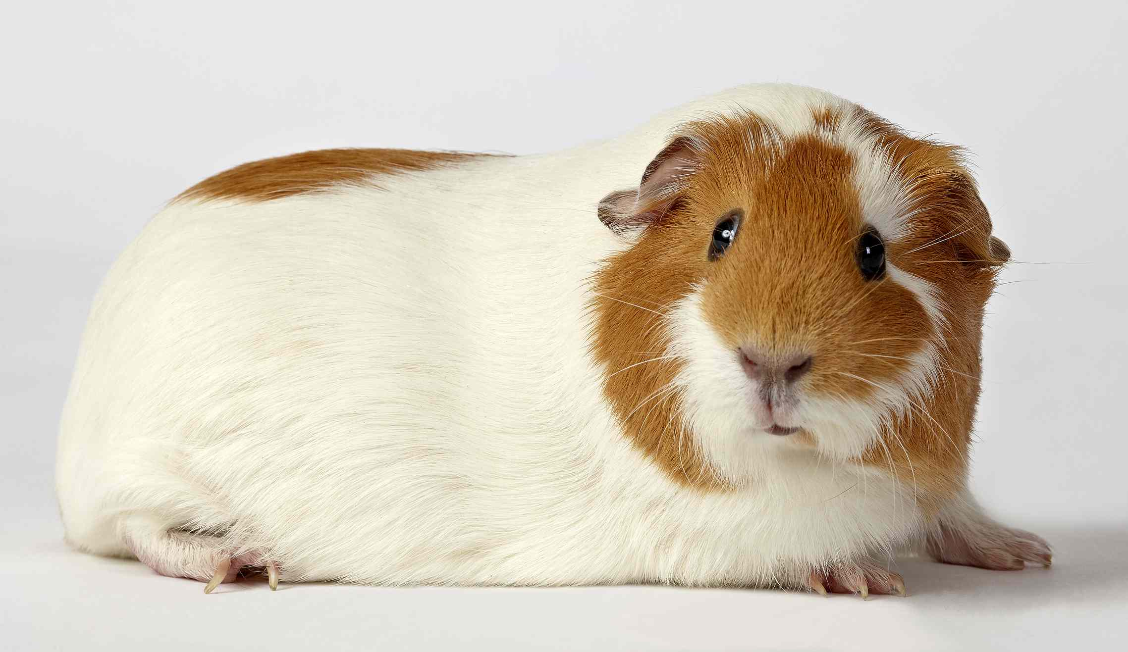 White and red guinea pig