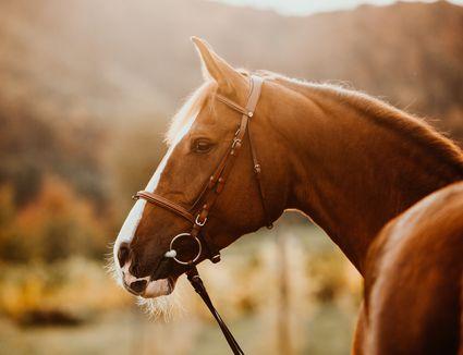 Pferd Fuchs im Herbst im Gegenlicht als Portrait Porträt