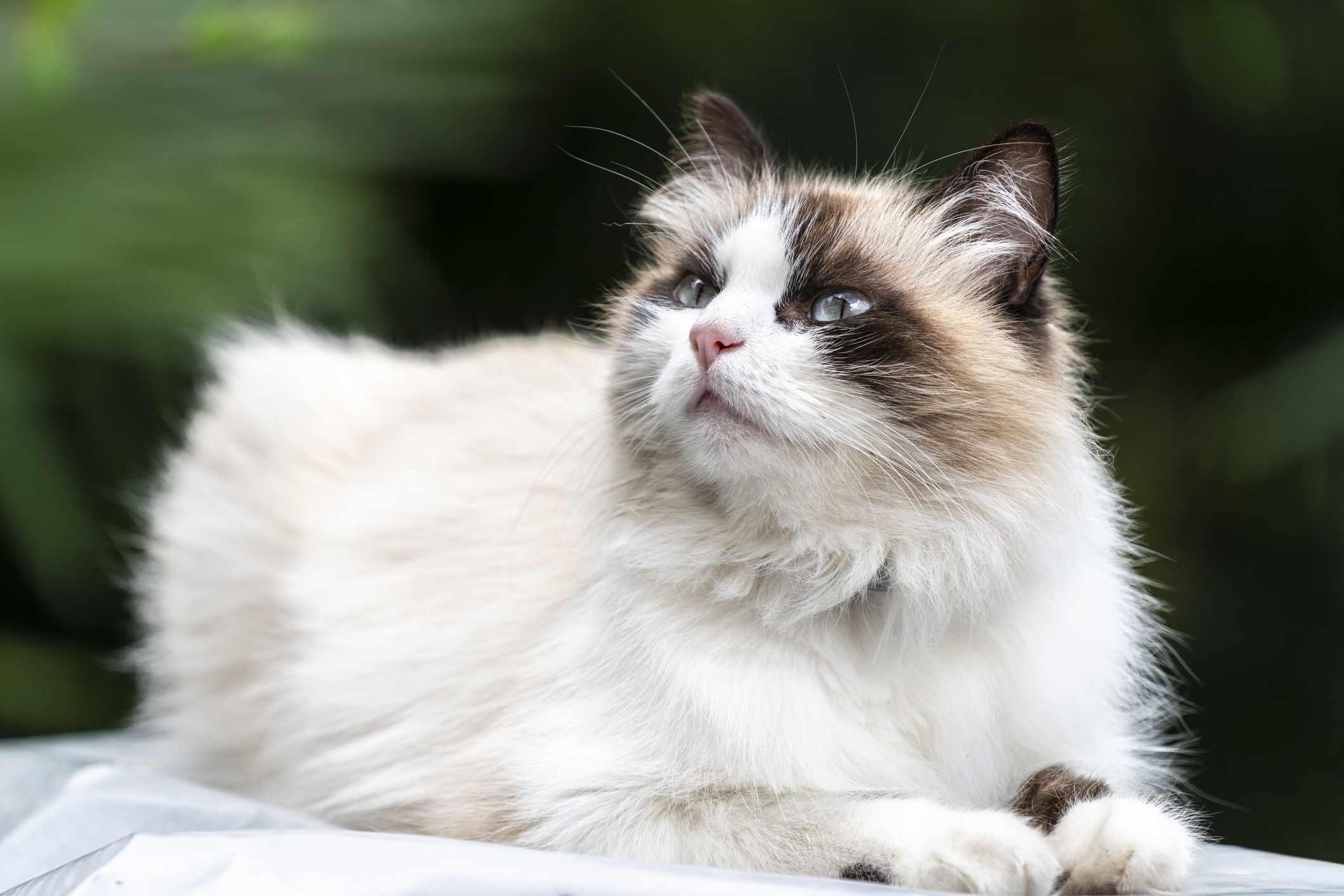 Birman cat, Italy.