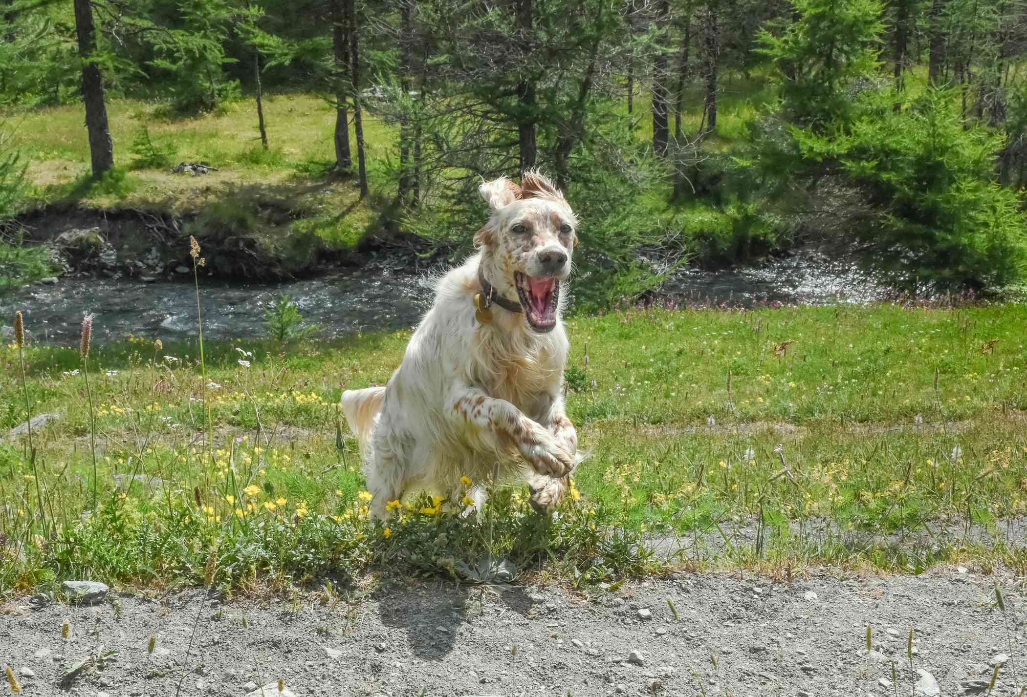 English Setter running in a meadow