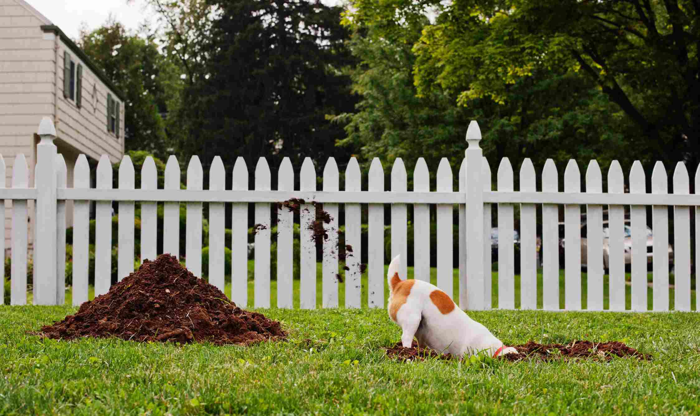 A dog digging a hole in a front yard