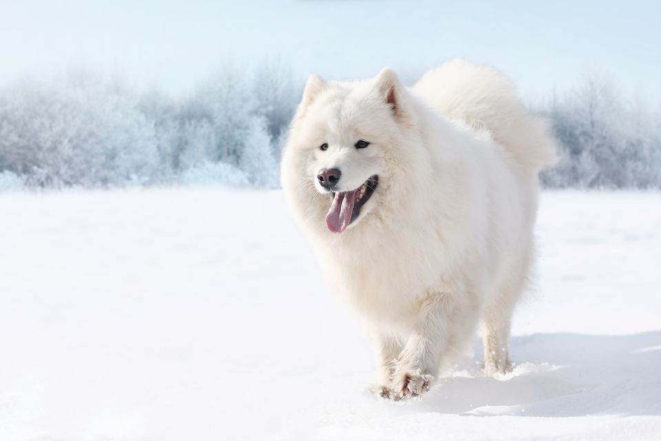 A Samoyed running in the snow
