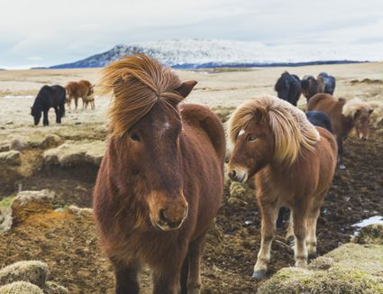 wild horses with mountains in background