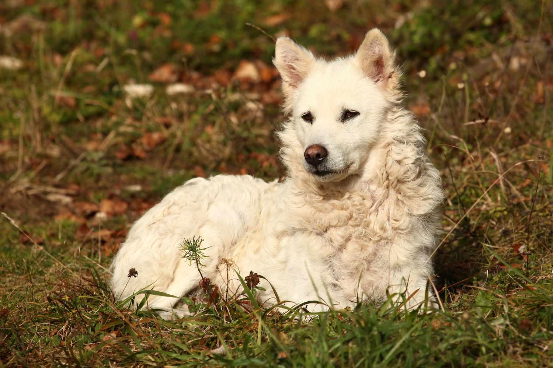 mudi dog sitting in grass