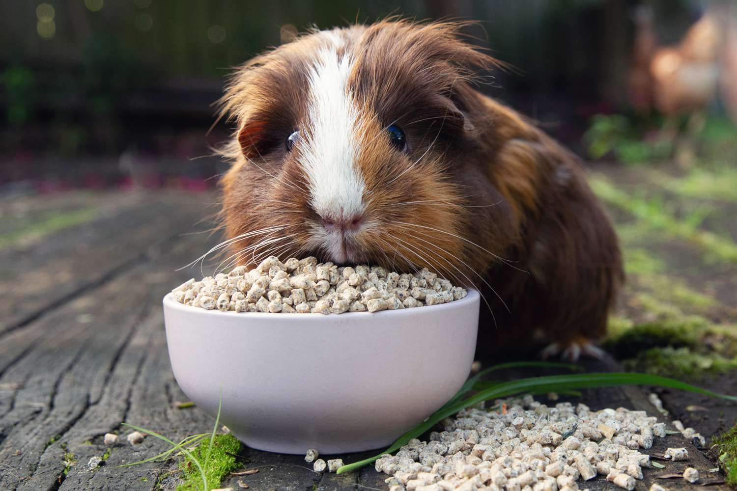 Brown and white guinea pig eating special guinea pig pellet food from white bowl