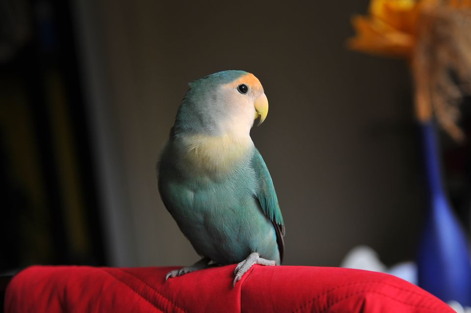 Small lovebird perched on furniture