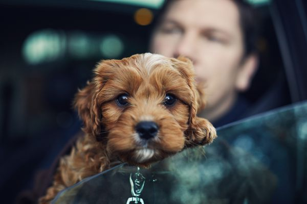 Puppy leaning out a car window with person in the seat.