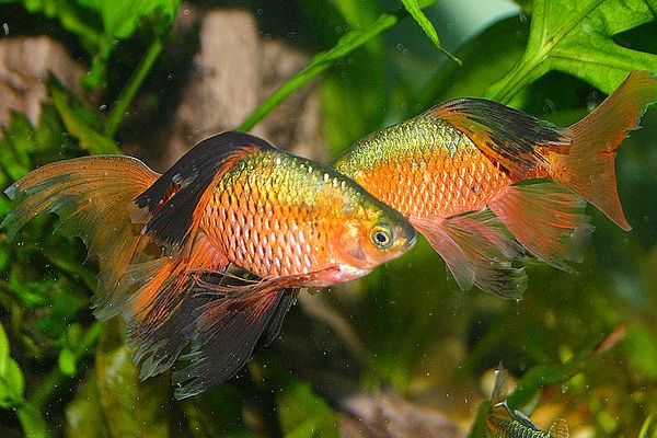 Rosy Barb dance of males desplay