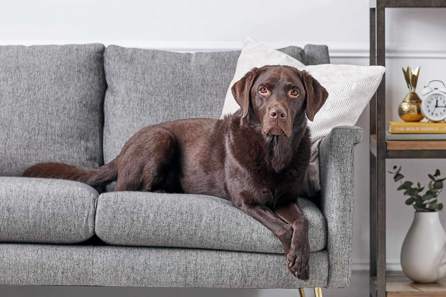 Labrador Retriever dog sitting on gray couch in front of white throw pillow