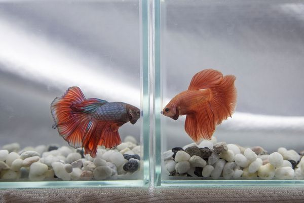 Two betta fish facing off