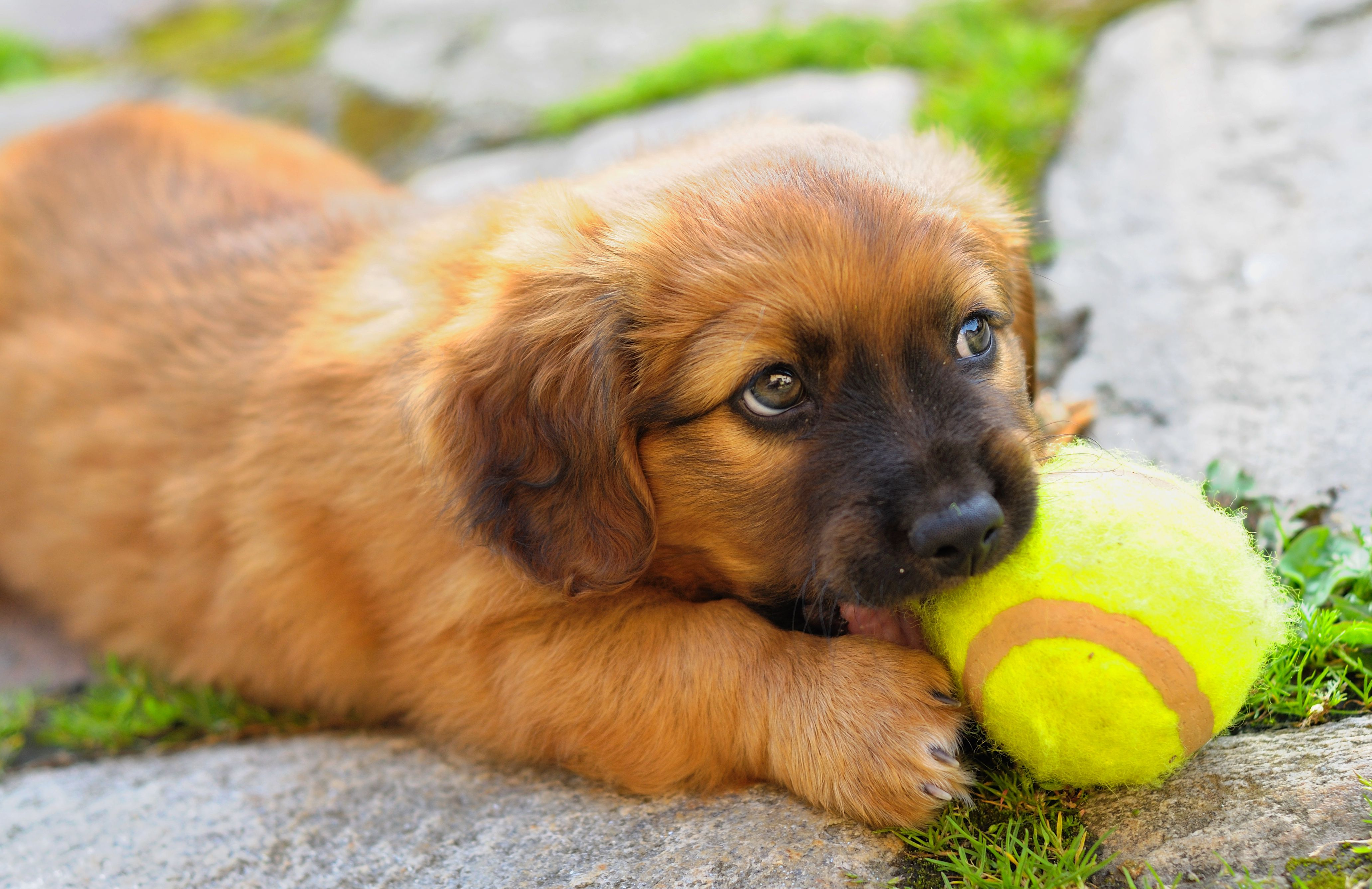 Close-up portrait of puppy with tennis ball