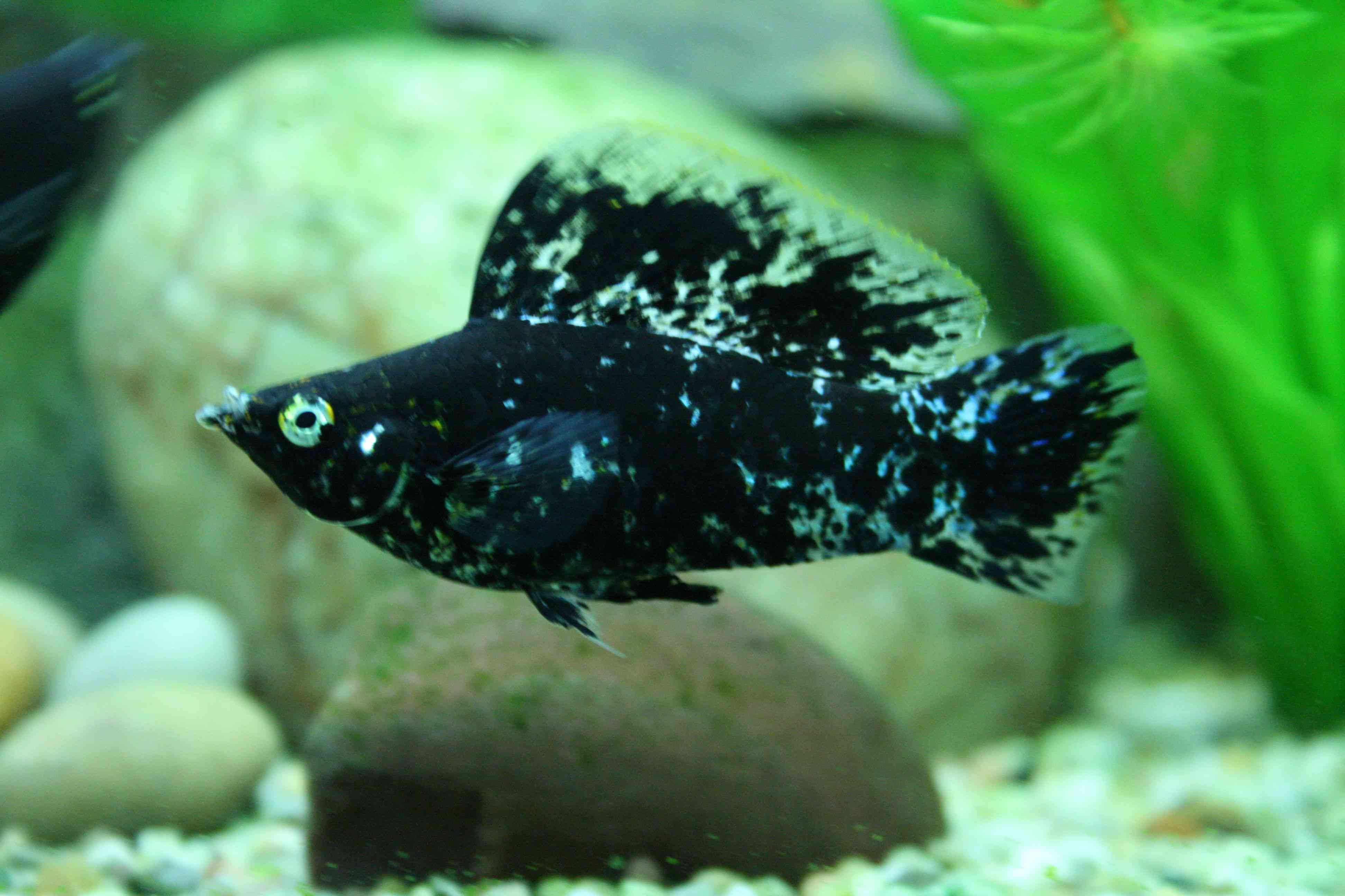 Mollie fish