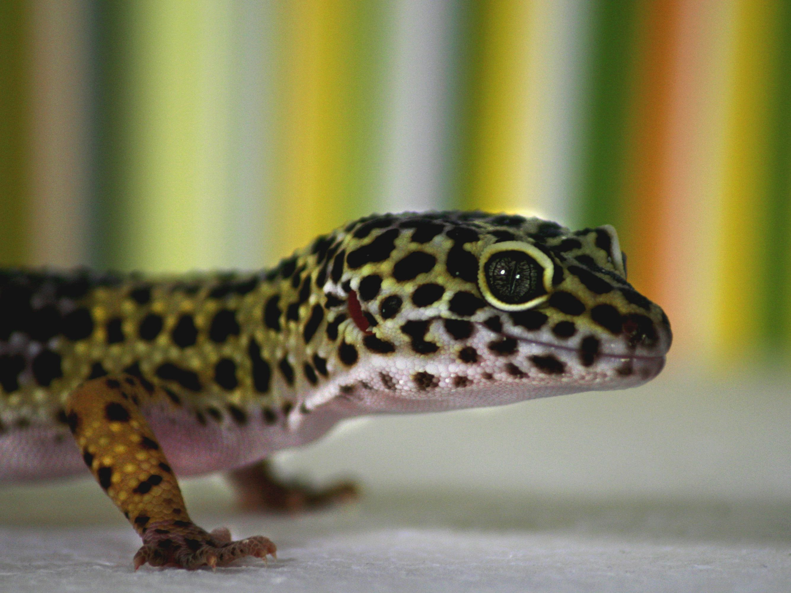 Common Pet Gecko Types For Beginners