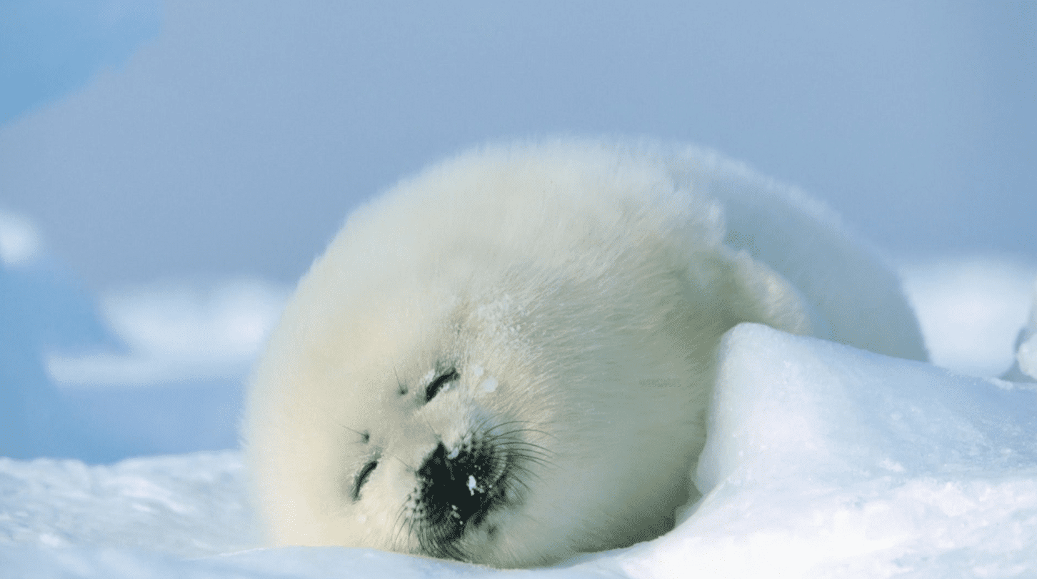 baby seal sleeping in snow
