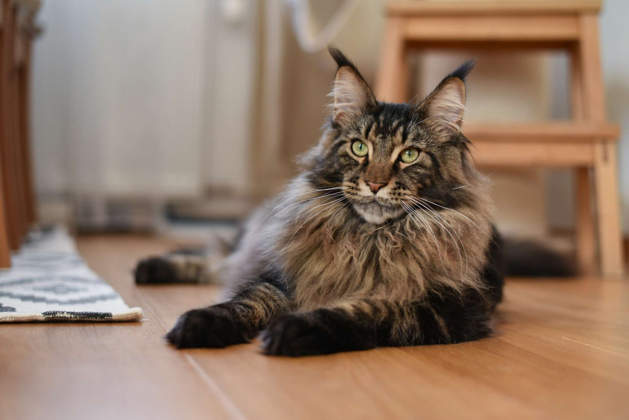 A brown tabby Maine Coon cat with pointed ears laying on wood floor and looking past camera.