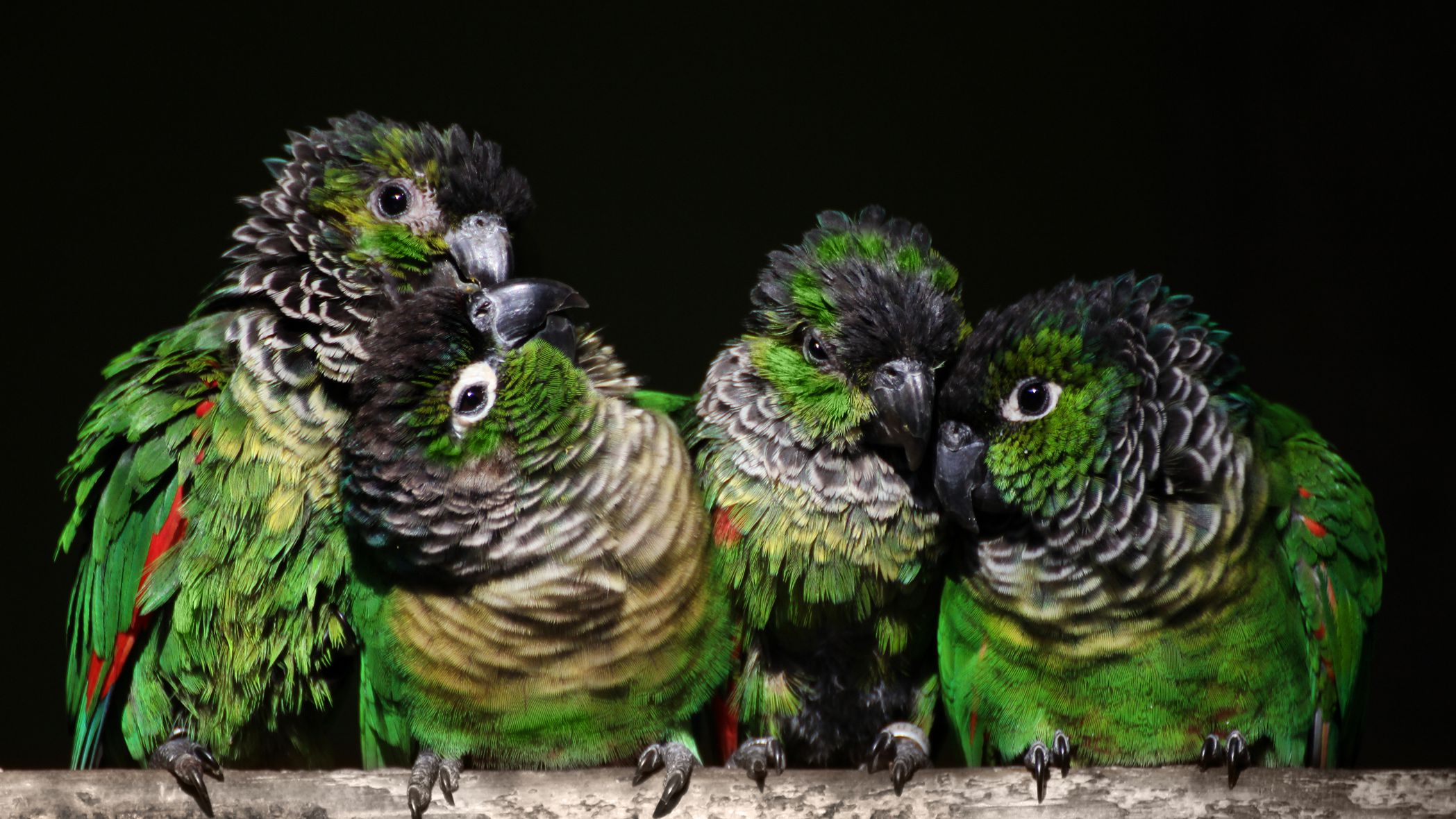 Black Capped Conure Full Profile History And Care,Eggplant Chinese Recipe Szechuan