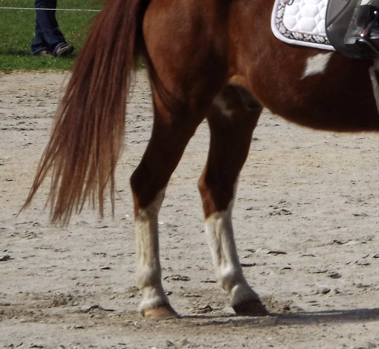 Horse back legs