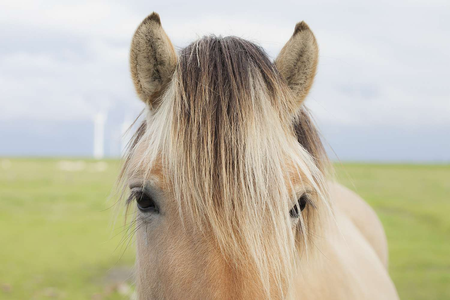 A close up of a horse's forelock.