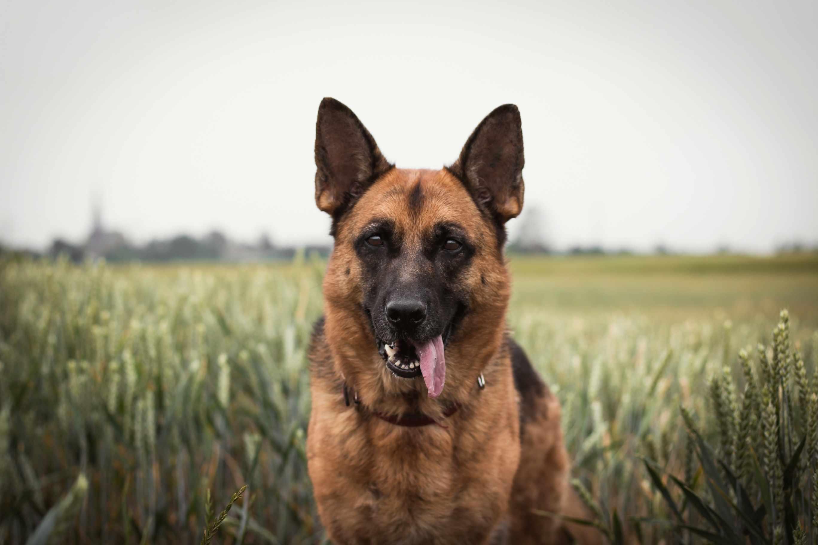 German shepherd standing in field
