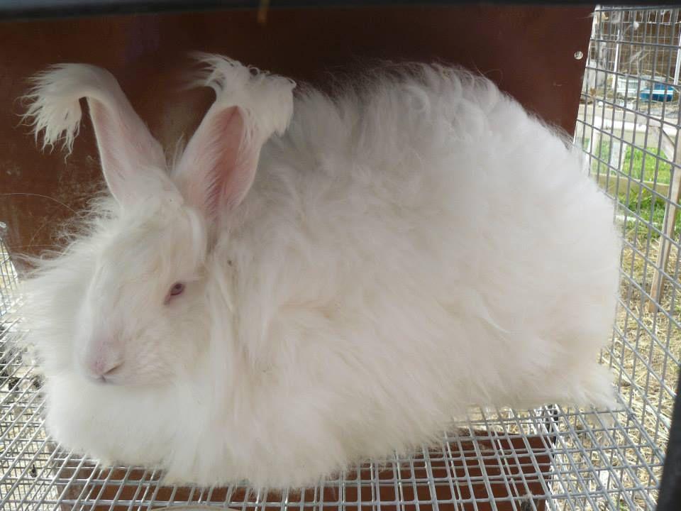 White German angora rabbit sitting in a cage.
