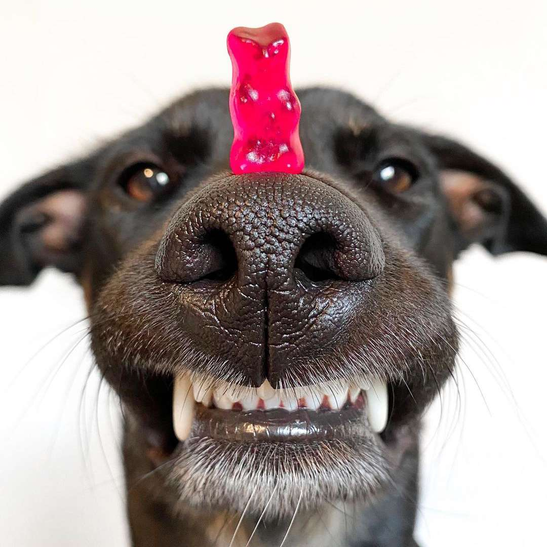 An up close black dog balancing a red gummy bear on his nose.