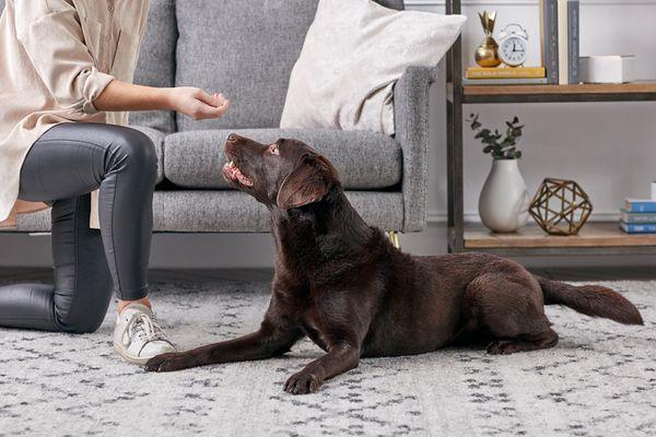 Training a Chocolate Labrador Retriever
